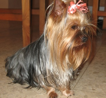 Yorkshire Terrier Information Eat Sleep Walk