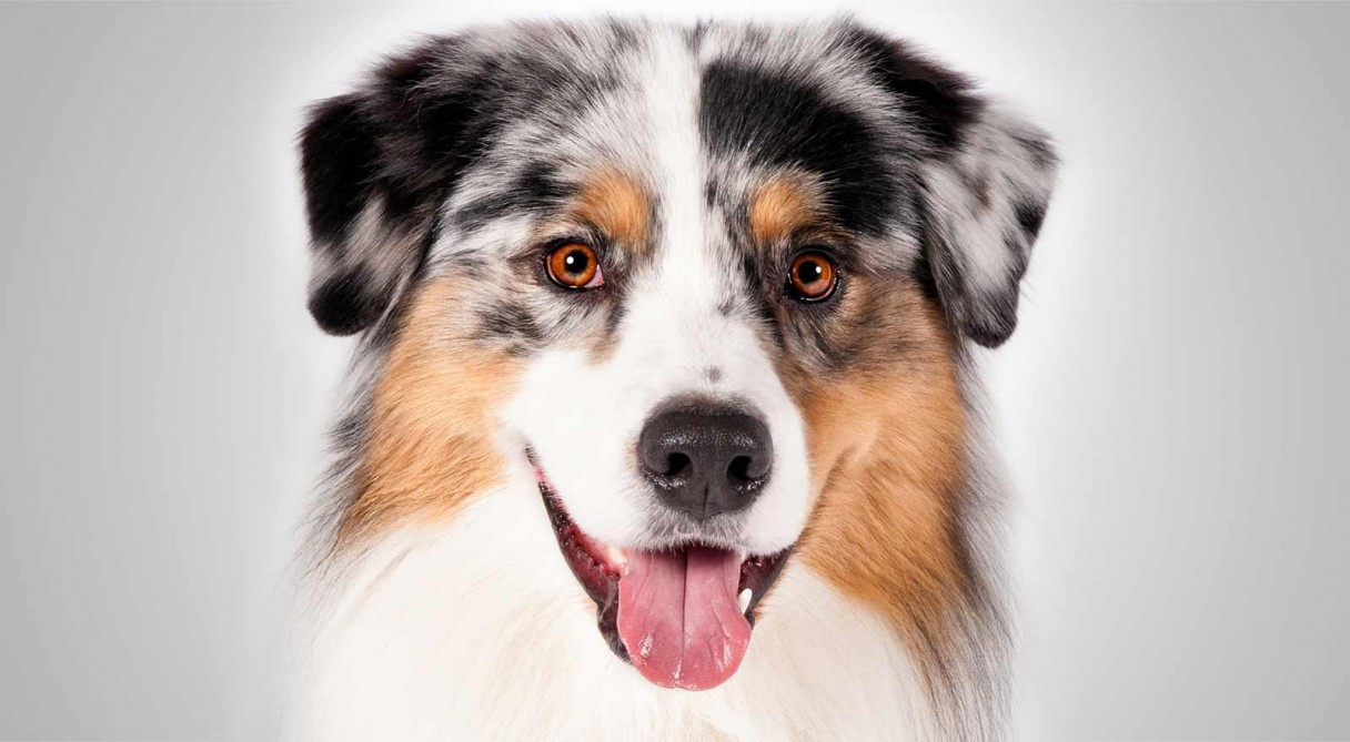 Australian Shepherd: Training, Health Care and Breed Information