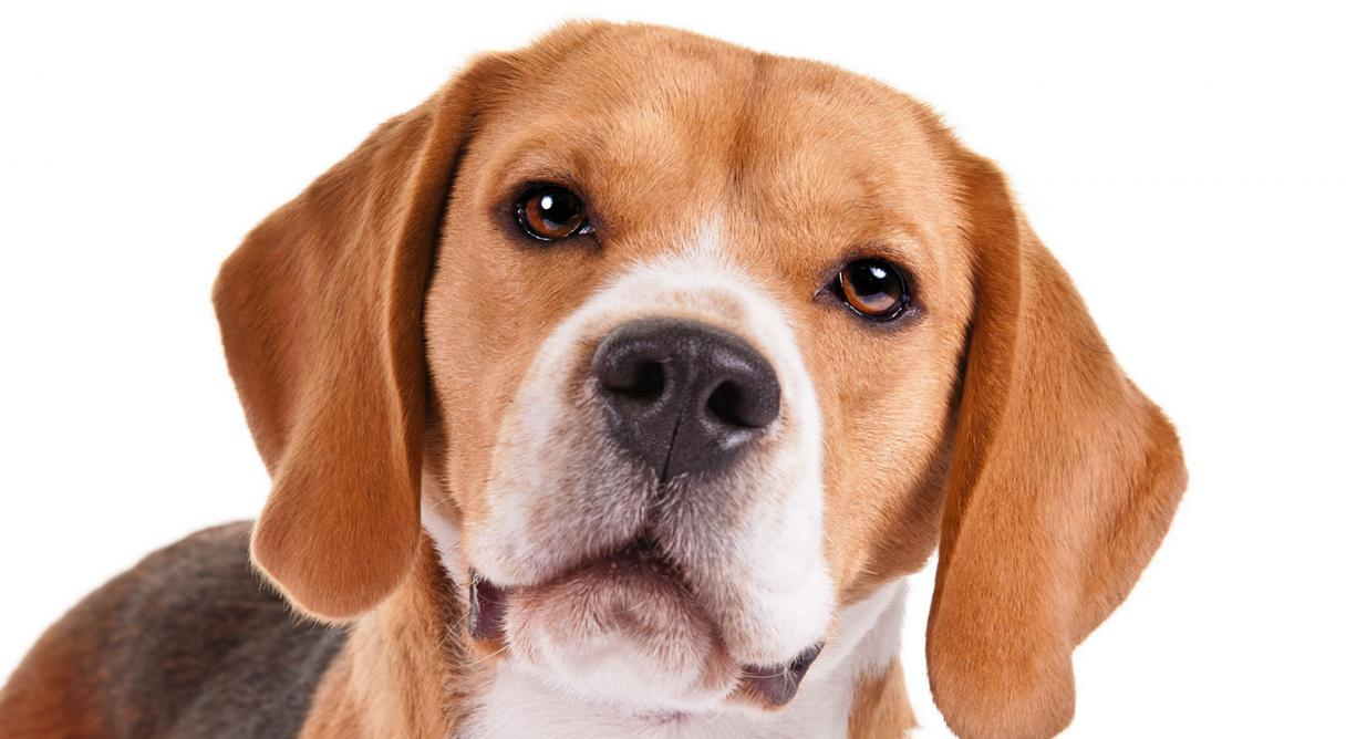 Beagle: Puppy Training, Breed Information, and Other Info