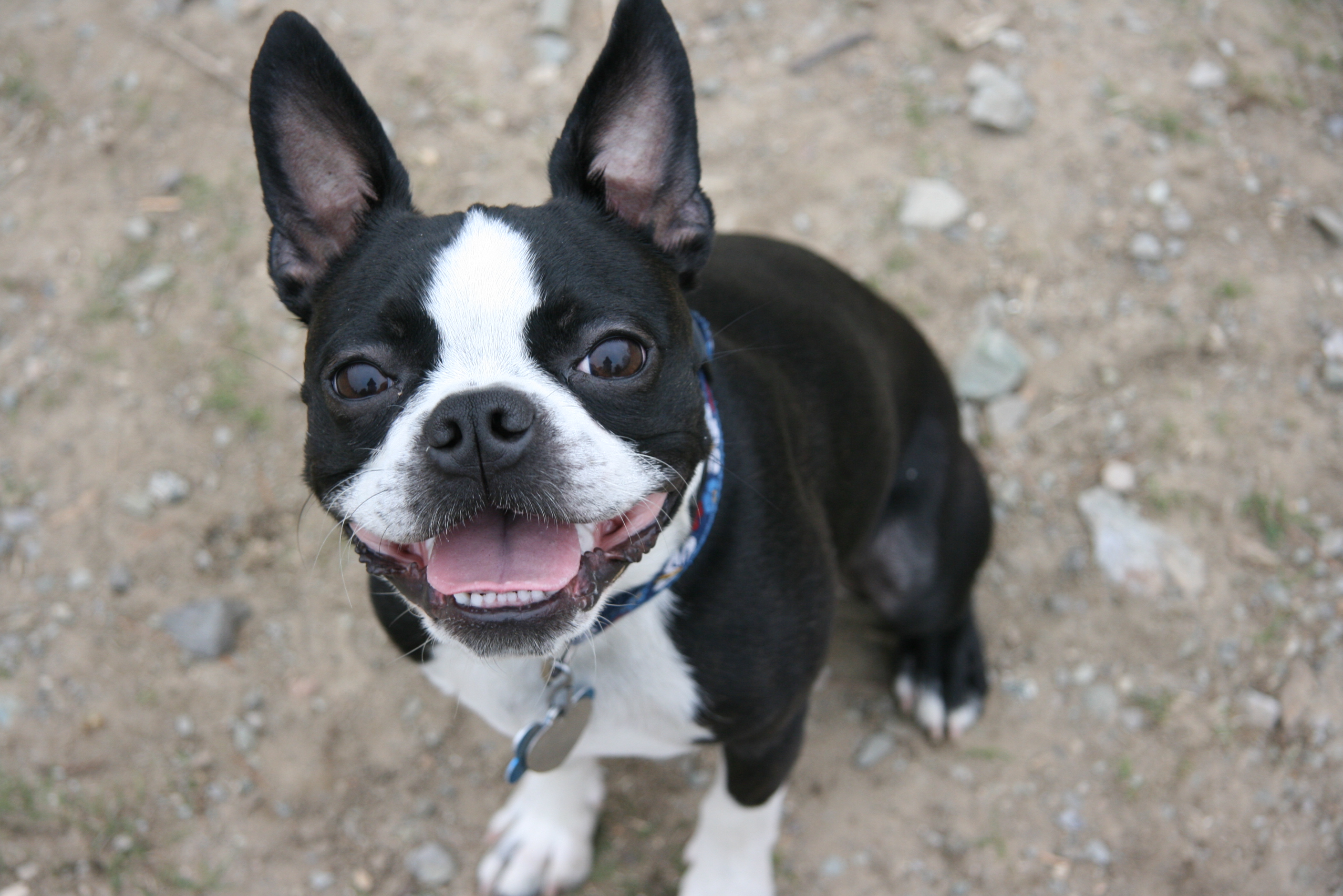 Boston Terrier: Puppy Training and Breed Information