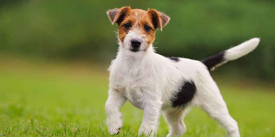 Jack Rus Terrier Training Health Care And Breed Information