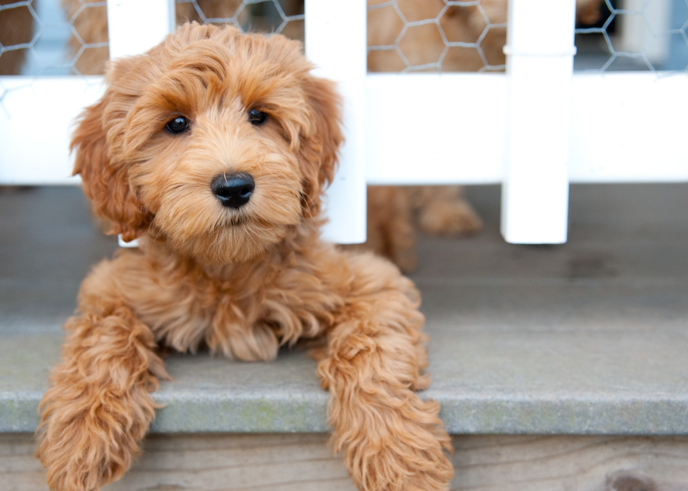 Labradoodle Training Health Care And Breed Information