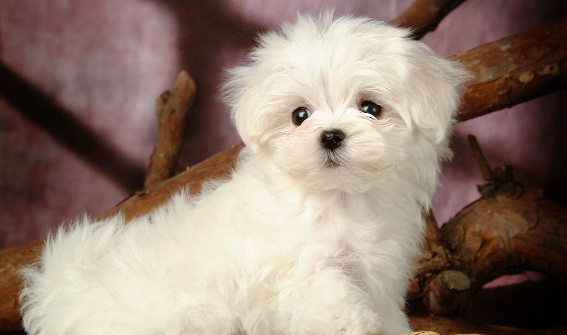 Maltese: Puppy Training, Health Care, and Breed Information