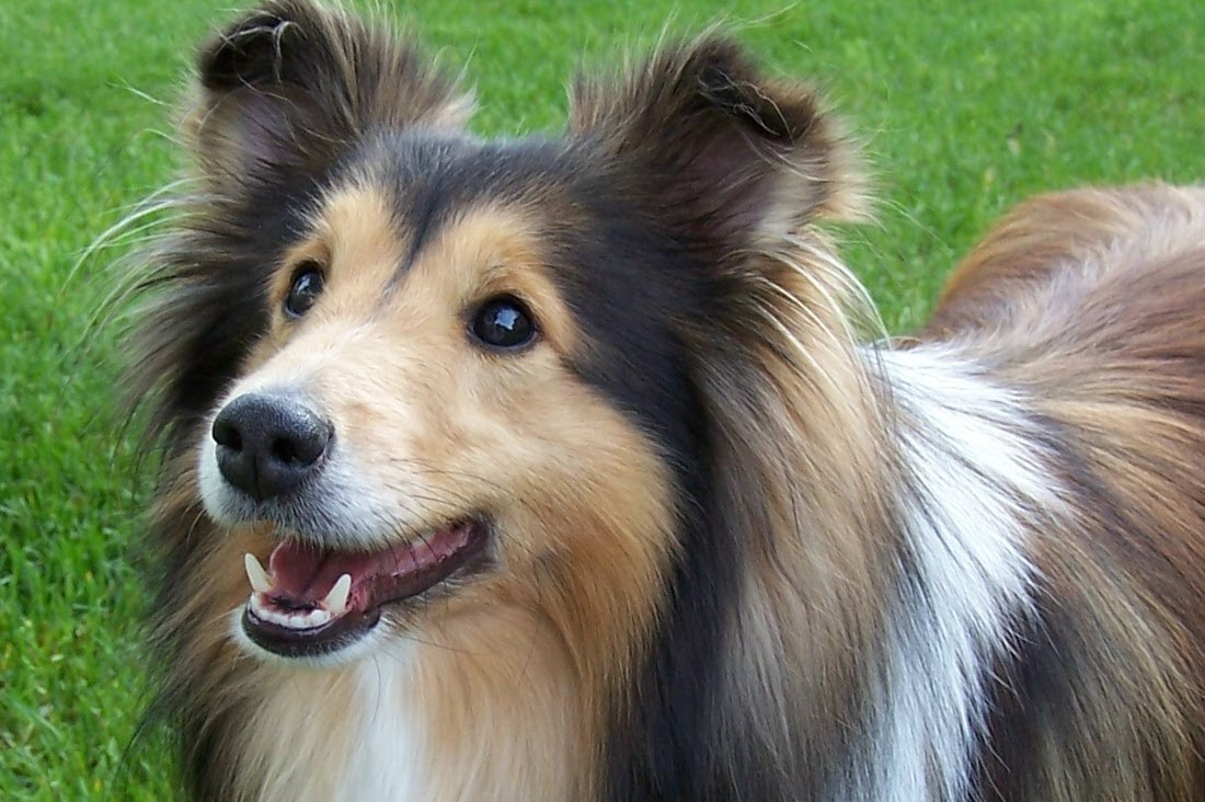 Shetland Sheepdog: Training, Breed Information and Health Care