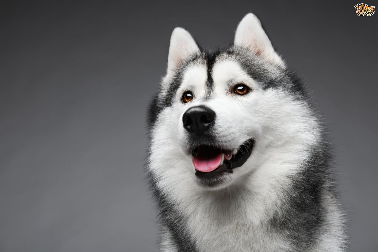 Siberian Husky: Training, Health Care, and Breed Information