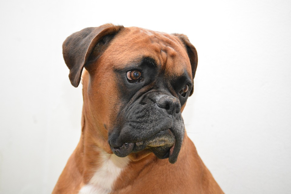 The Boxer: Dog Training and Breed Information