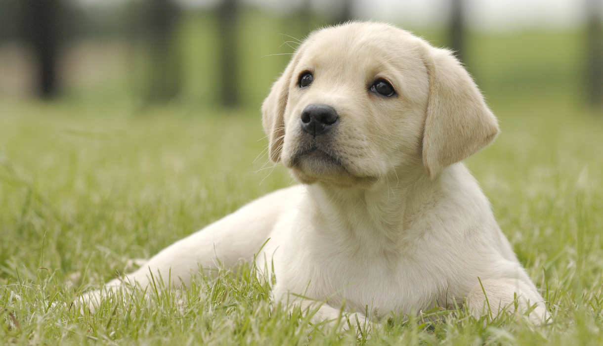 Training a Labrador Puppy