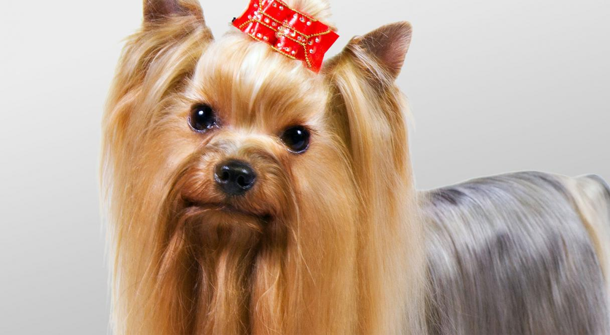 Yorkshire Terrier Information