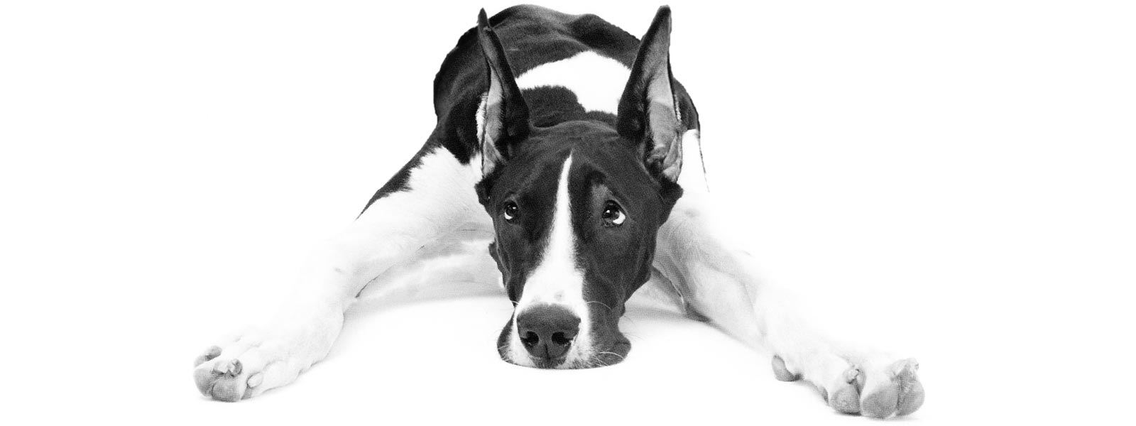 Great Dane: Training, Health Care, and Breed Information